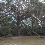 3-500 yr old Fairchild Oak stands 68' H.  Branches extend ~300 ft. Near Tomoka SP, Ormond Beach, FL